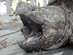 head of alligator snapping turtle