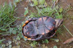 view of the plastron of the eastern mud turtle