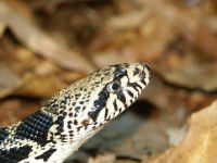 closeup of gophersnake head