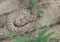plains hog-nosed snake