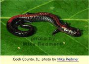 redbacked salamander