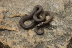 ring-necked snake
